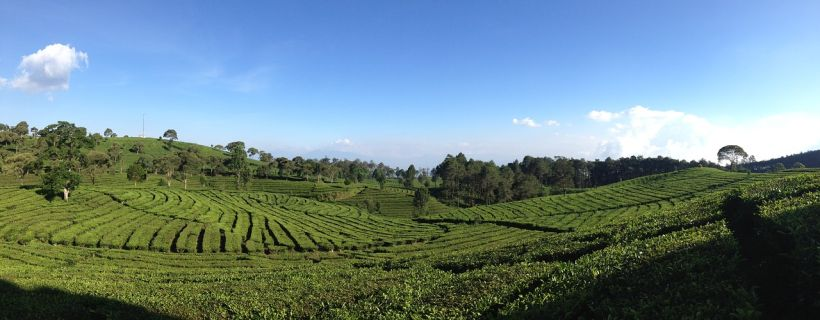 Tea Valley near Bandung, Indonesia, where Anne Louise Slockens lived for a couple of years.